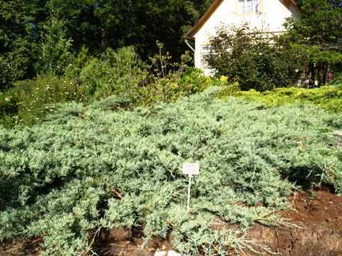 Juniperus virginiana 'Grey Owl'