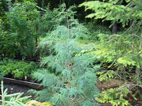 Juniperus virginiana 'Pseudocupressus'
