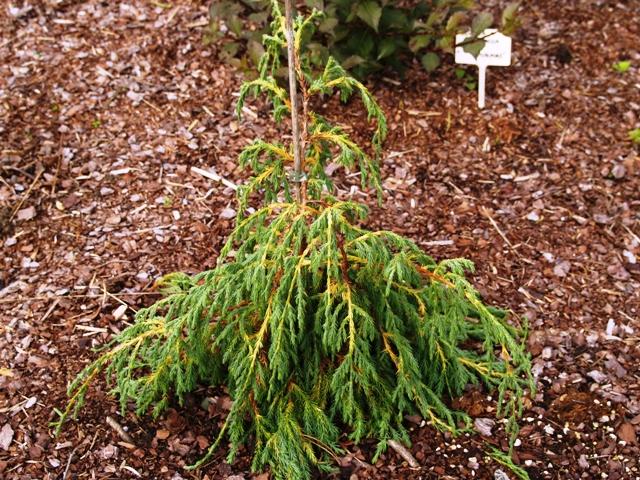 Juniperus recurva var. coxii