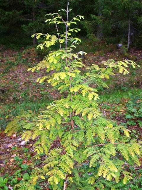 Metasequoia glyptostroboides 'All Bronze'