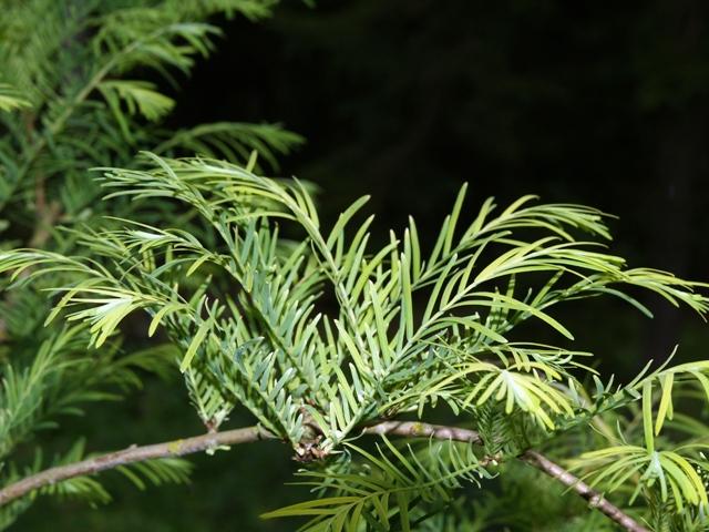 Metasequoia glyptostroboides 'Spring Cream'