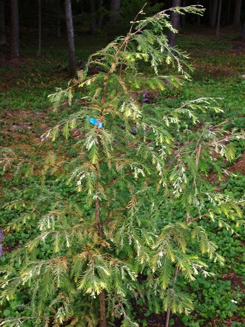 Metasequoia glyptostroboides 'White Spot'