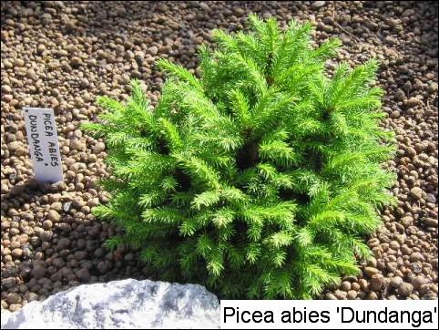 Picea abies 'Dundanga'