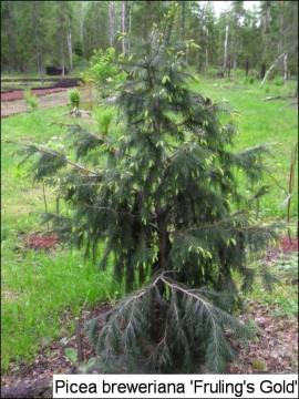 Picea breweriana 'Frühlingsgold'