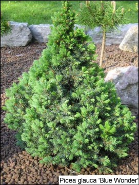 Picea glauca 'Blue Wonder®'