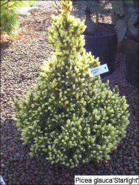Picea glauca 'Starlight'