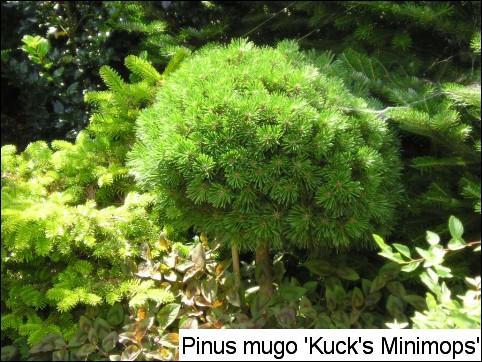 Pinus mugo 'Kuck's Minimops'