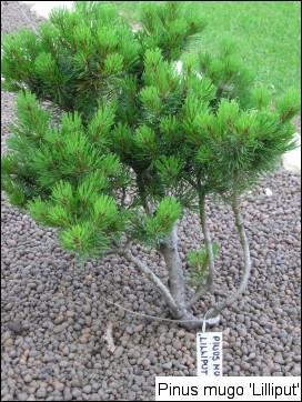 Pinus mugo 'Lilliput'