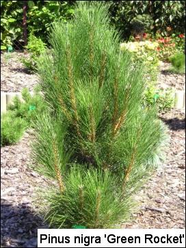 Pinus nigra 'Green Rocket'