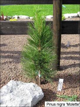 Pinus nigra 'Molette'