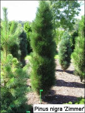 Pinus nigra 'Zimmer'