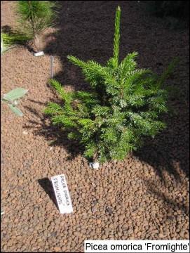Picea omorika 'Fromlight'