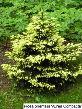 Picea orientalis 'Aurea Compacta'