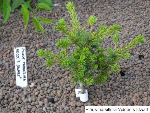 Pinus parviflora 'Adcock's Dwarf'