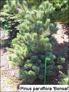 Pinus parviflora 'Bonsai'