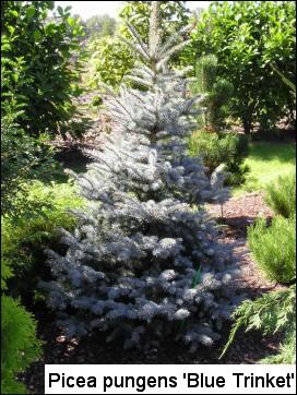 Picea pungens 'Blue Trinket'