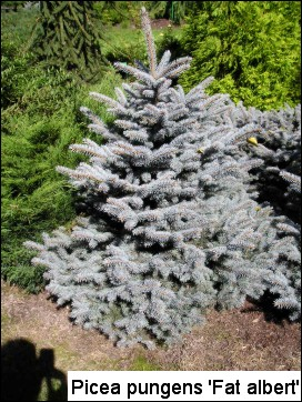 Picea pungens 'Fat Albert'