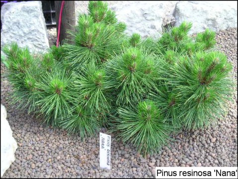Pinus resinosa 'Nana'