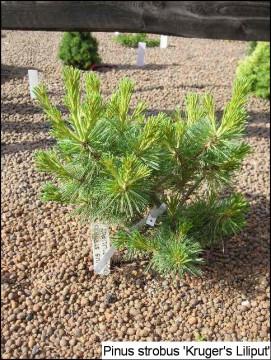 Pinus strobus 'Krügers Lilliput'