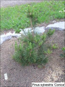 Pinus sylvestris 'Conica'