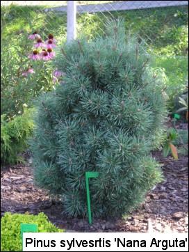 Pinus sylvestris 'Nana Arguta'