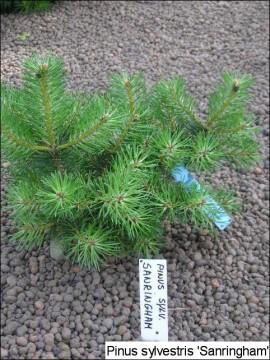 Pinus sylvestris 'Sandringham'
