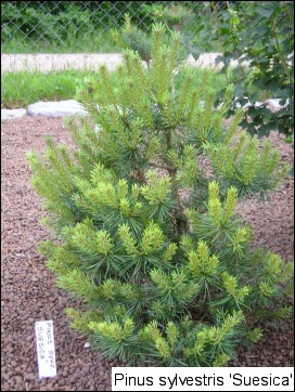 Pinus sylvestris 'Suecica'