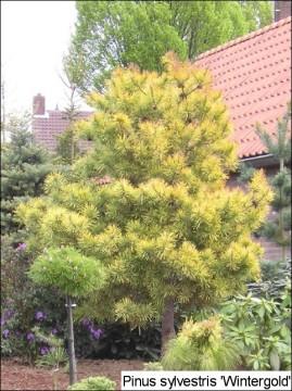 Pinus sylvestris 'Wintergold'