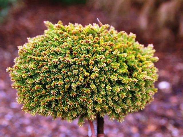 Picea abies 'Bary Mazaifa'