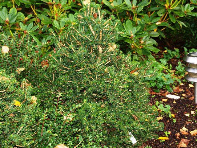 Picea abies 'Dan's Dwarf'