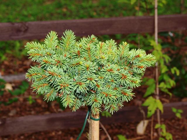 Picea abies 'Fabera'