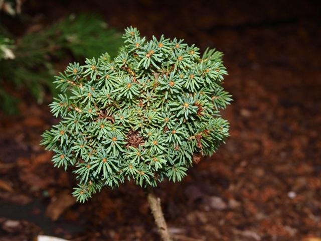 Picea abies 'Girard's Monstrosa Nana'