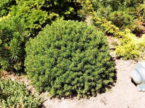 Picea abies 'Hiiumaa'