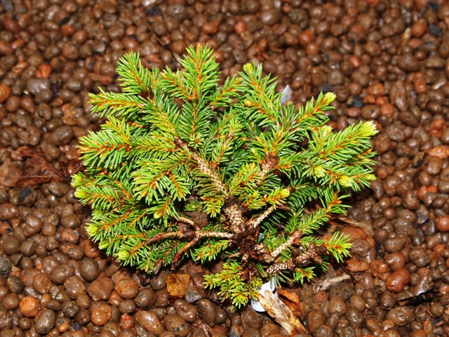 Picea abies 'Kamberg Top'