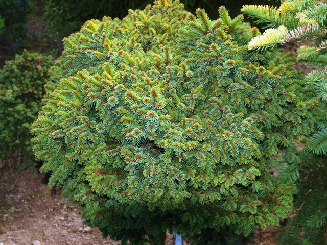 Picea abies 'Klucenice'