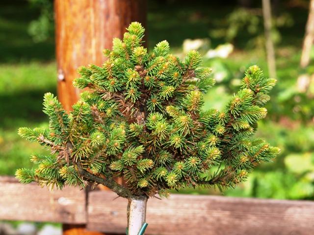 Picea abies 'Kral'