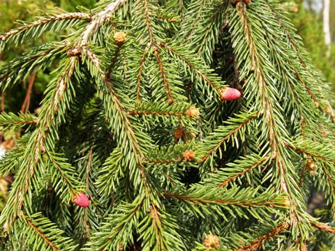 Picea abies 'Loreley'