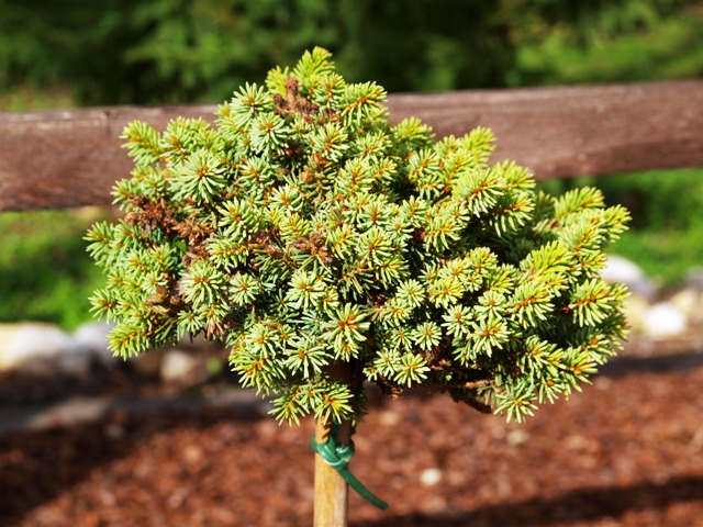 Picea abies 'Luh'