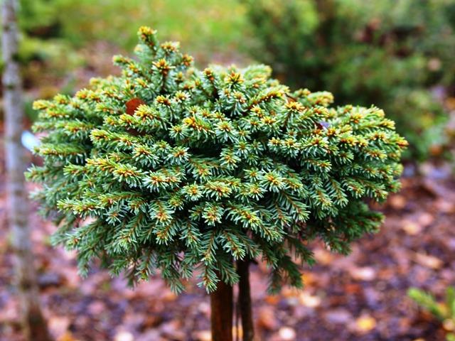 Picea abies 'Mali WB'