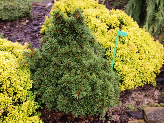 Picea abies 'Mikulašovice'