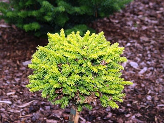 Picea abies 'Minima Kalous'