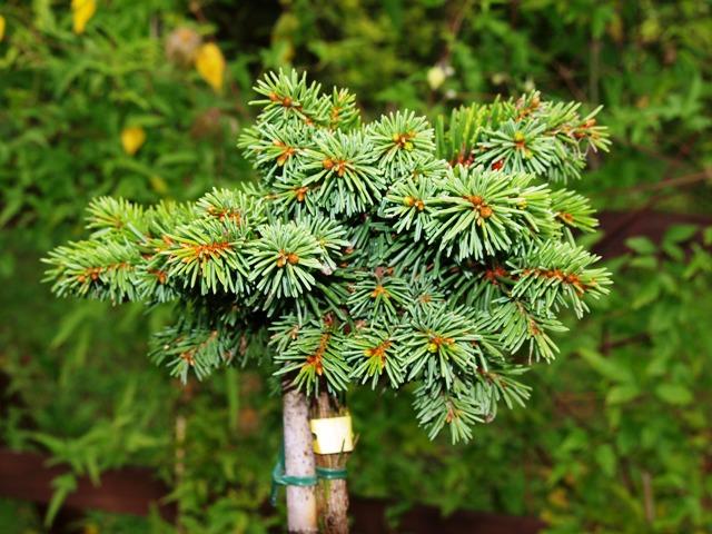 Picea abies 'Obora'