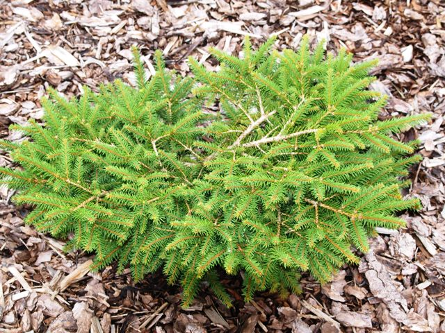 Picea abies 'Procumbens'