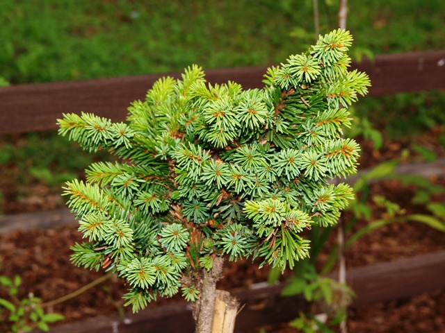 Picea abies 'Uvoz'