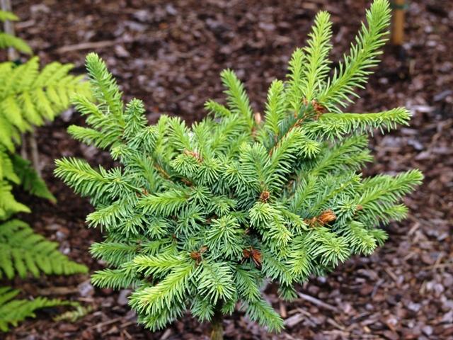 Picea abies 'Wielopole'