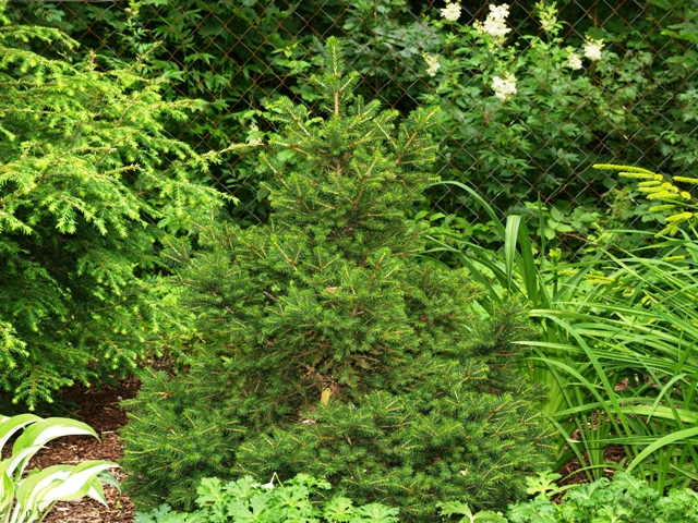 Picea abies 'Will's Zwerg'