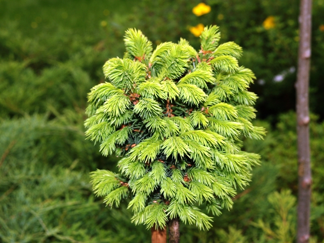 Picea abies 'Witches' Brood'