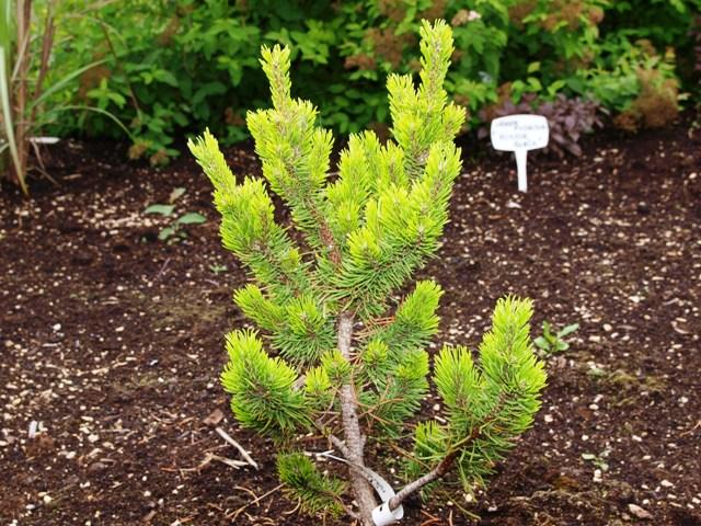 Pinus banksiana 'Stara Tura'