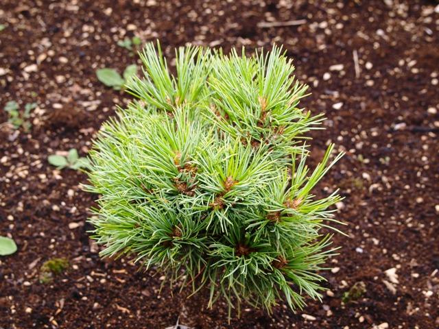 Pinus cembra 'Ortler'