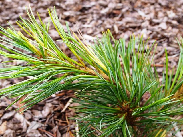 Pinus cembra 'Variegata'